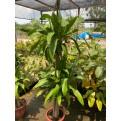 Dracaena fragrans (Iron Tree) (1.3m to 1.5m height)